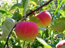 Яблоня Медуница (Медовая)