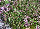 Тимьян Пурпурный ковер