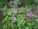 Горянка крупноцветковая Лилафея