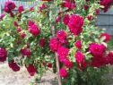 Роза плетистая Фламментанц