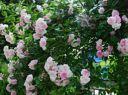 Роза плетистая уральская (без сорта)