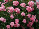 Роза почвопокровная Зе Фейри (Фея)
