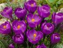 Крокус крупноцветковый Флауэр Рекордс (1 штука)